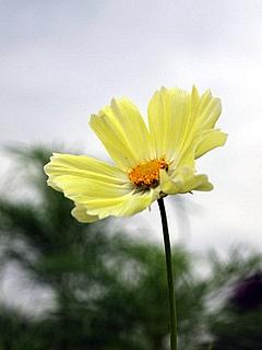 黄コスモス