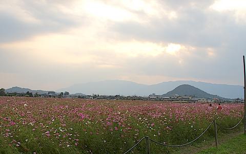 奈良でコスモス