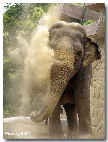 象の砂浴び