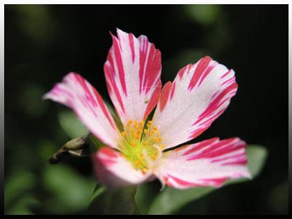 島模様の花