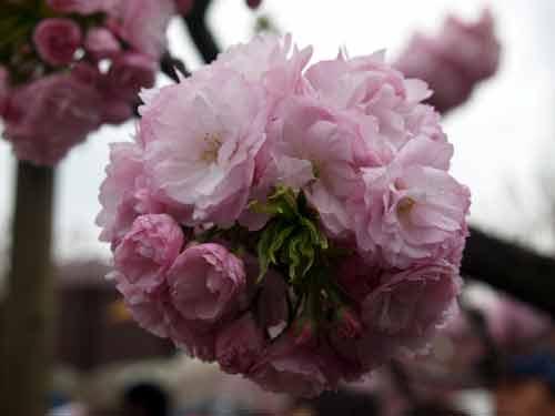 今年の桜(大手毬)
