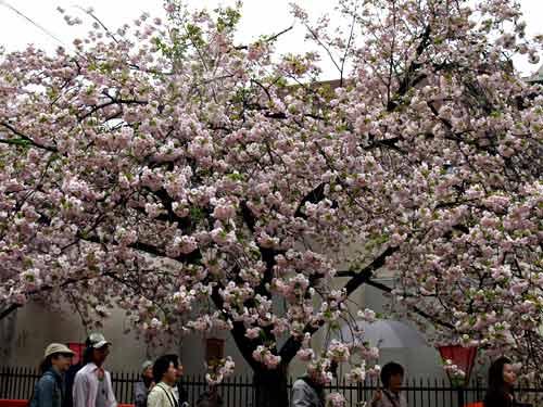 楊貴妃桜の下
