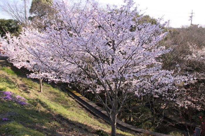 IMG_0786桜