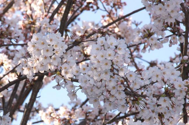 IMG_0933桜
