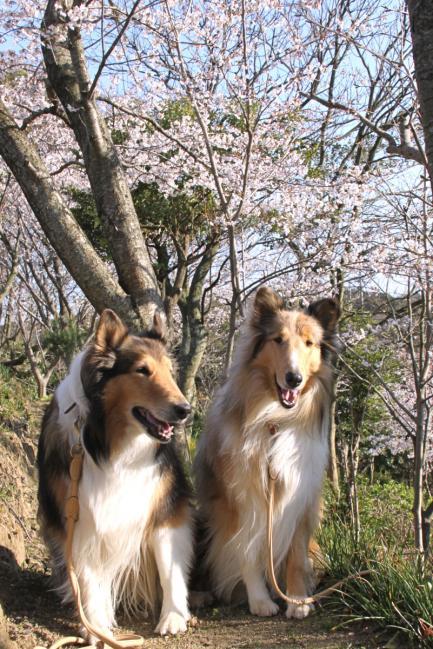 IMG_0818桜犬