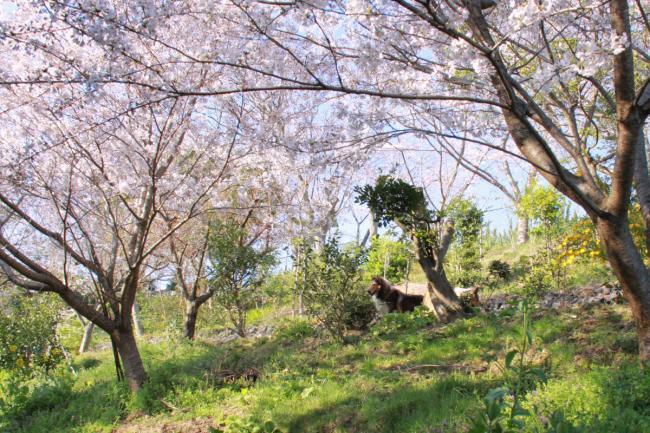 IMG_0831桜犬