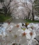 某会下山公園の桜.jpg