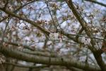 つぼみ多い桜