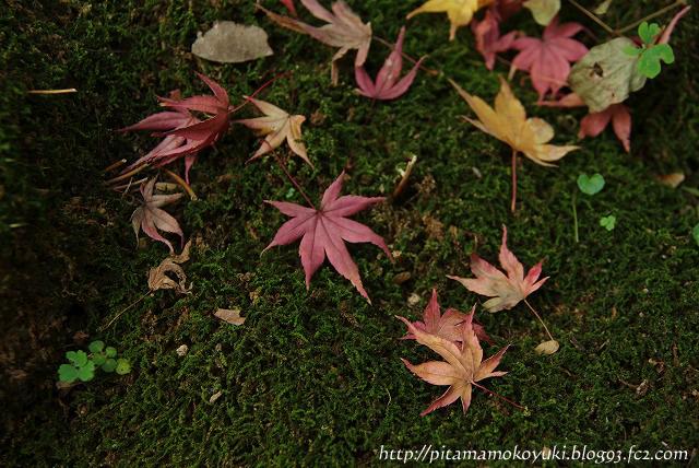 苔と紅葉101120_1