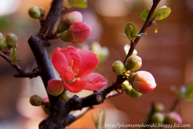 木瓜の花110325_1