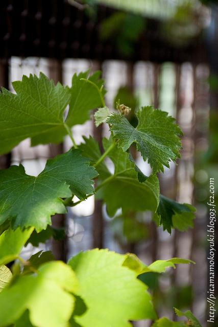 ブドウの木110521_1