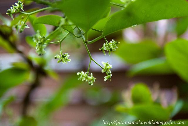 マユミの花110522_1