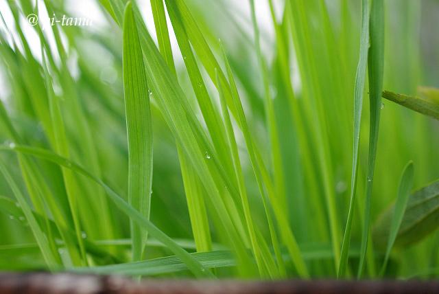 麦の若葉090927_1