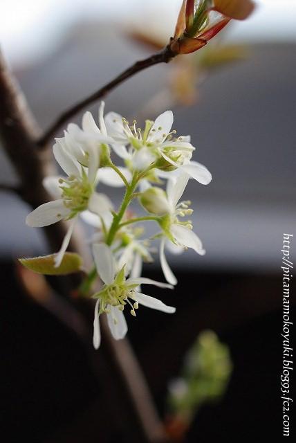 ジューンベリーの花100414_1
