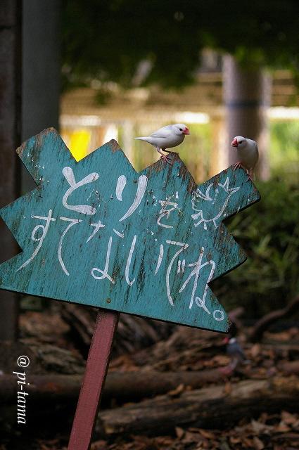文鳥&看板091004_1