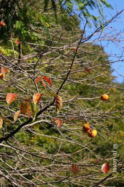 柿の木091018_1