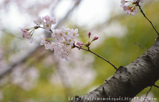 桜100403_1