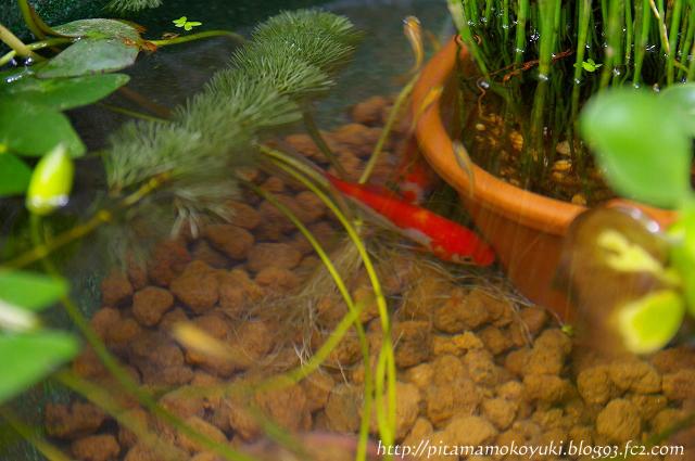 金魚100626_1