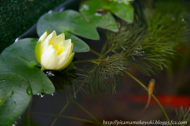姫スイレンの花100627_1