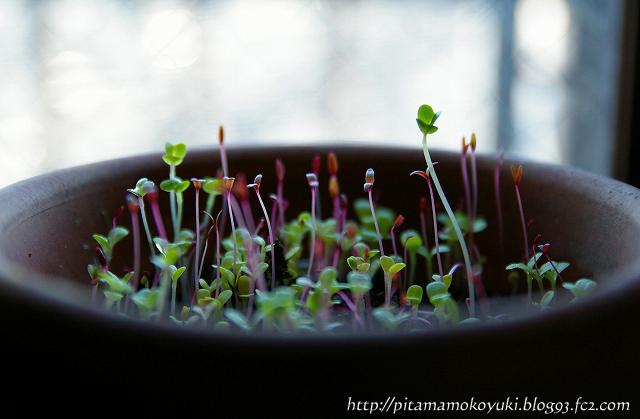 サラダミックスの芽