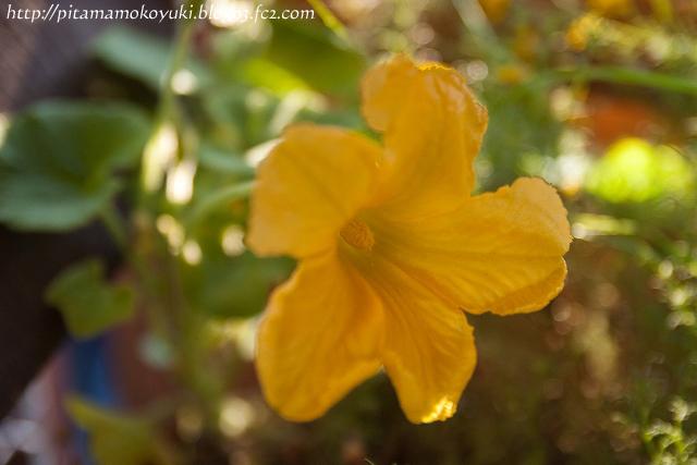カボチャの花100911_1