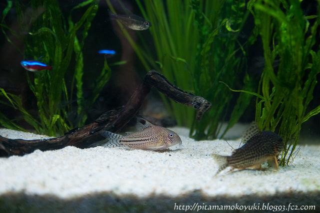 熱帯魚110116_1