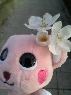 comomo-sakura0408.jpg