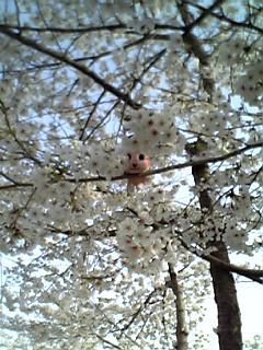 sakura-comomo0408-1.jpg