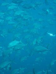 タイ・タオ島・ダイビング・ギンガメアジ