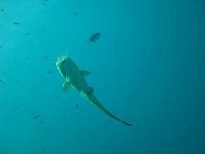 タイ|タオ島|ダイビング|魚|イタチウオ