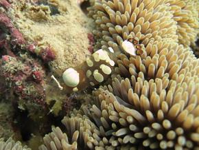 タイ|タオ島|ダイビング|イソギンチャクエビ