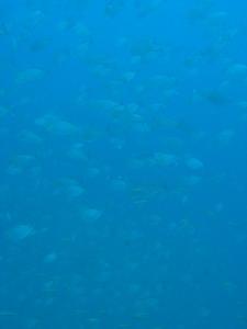 タイ|タオ島|ダイビング|チュンポンピナクル