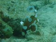 タイ|タオ島|ダイビング|幼魚
