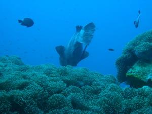 タイ|タオ島|ダイビング|ヤイトハタ