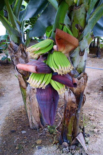 banana0809d_eip.jpg