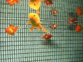 泳ぐ金魚ちゃん