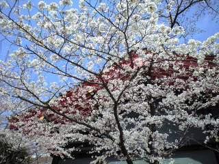 桜2009-1