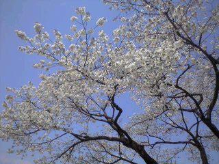 桜2009-3