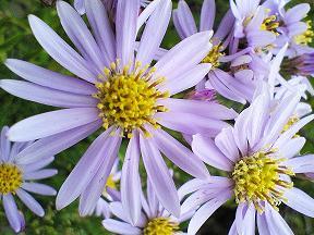 紫苑です、多分