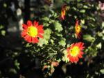 ピンボケの小菊