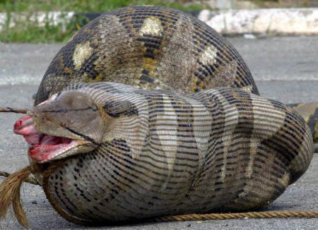 羊を飲み込んだヘビ