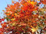 庭の紅葉も今が盛り