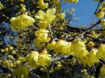 お寺に咲いていた蝋梅