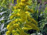 セイタカアワダチソウ・・・最近花粉症の原因にもなってる繁殖力旺盛の外来種、別名ブタクサとも。