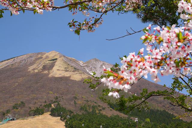桝水 大山 桜