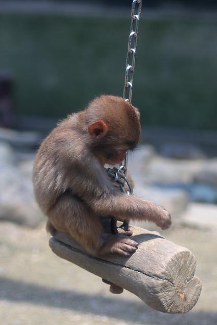 米子市 湊山公園 猿