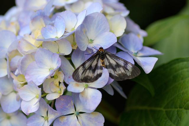 伯耆古代の丘公園~紫陽花