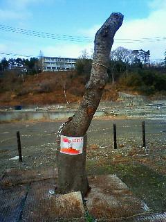 20120311さくら