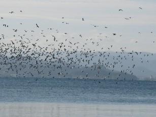 琵琶湖海鳥