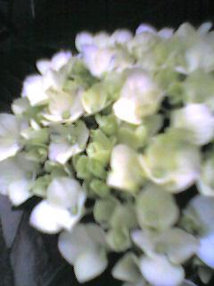 060605_ajisai.jpg